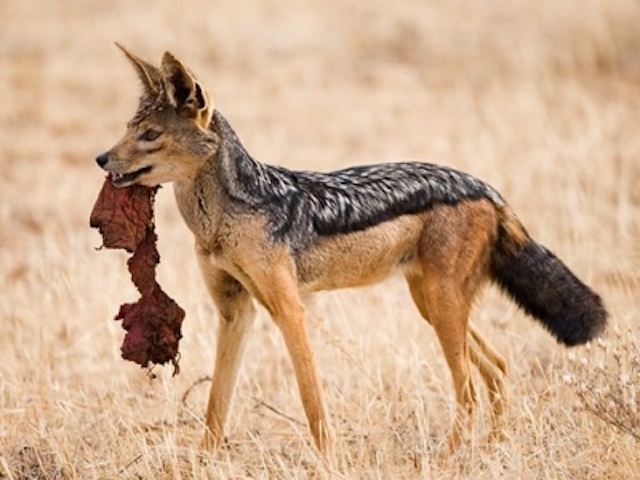 BLACKED-BACKED JACKAL