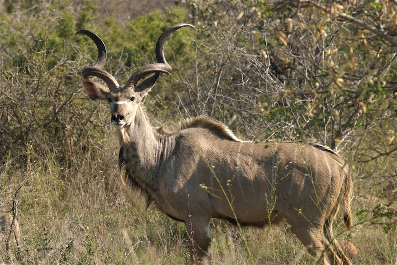 KUDU (GREATER SOUTHERN)